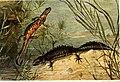 Die Reptilien und Amphibien mitteleuropas (1912) (20942539445).jpg