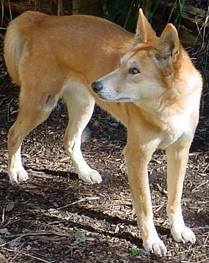 """Obrázok """"http://upload.wikimedia.org/wikipedia/commons/thumb/c/cb/Dingo3.jpg/300px-Dingo3.jpg"""" sa nedá zobraziť, pretože obsahuje chyby."""