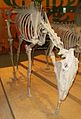 Dinohippus leidyanus 3.JPG