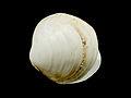 Diplodonta rotundata (doublet).jpg