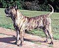 Dogo Canario.jpg