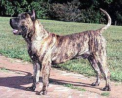 Presa Canario Dogs Free To Good Home