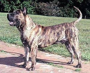 Perro de Presa Canario - Perro de Presa Canario