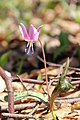 Dogtooth violet - Erythronium dens-canis - panoramio (17).jpg