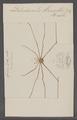 Dolichoscelis - Print - Iconographia Zoologica - Special Collections University of Amsterdam - UBAINV0274 069 05 0014.tif