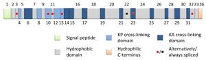 Elastin - Image: Domain structure human tropoelastin (EN)
