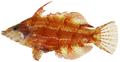 Doratonotus megalepis - pone.0010676.g112.png