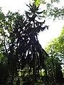 Douglasie neuer friedhof friedrichsfelde 2018 05 26 (1).jpg
