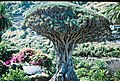 Dragon's blood tree (ДРАКОНОВО ДЕРЕВО) - panoramio (2).jpg
