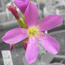 A single open pink flower with five radially symmetrical petals, five stamens with yellow anthers and 3 styles emerging from the center of the flower; several unopened flowers are in the gray background