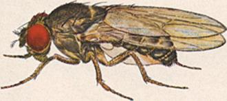 Drosophila - Drosophila pseudoobscura