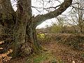 Druid's Oak (7104452389).jpg