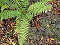 Dryopteris pseudofilix-mas with Anthriscus sylvestris.jpg