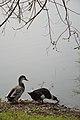 Duck Pair - Santragachi Jheel - Howrah 2017-12-25 5706.JPG