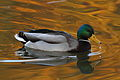 Duck in autumn light (4086851469) (3).jpg