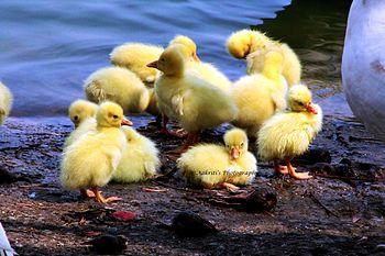 DuckbabiesAK1.jpg