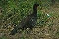 Dusky-legged Guan (Penelope obscura) (8077629409).jpg