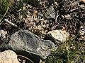 Dwarf Sierra onion Allium obtusa dry.jpg