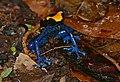 Dyeing Poison Frog (Dendrobates tinctorius) (40046955425).jpg