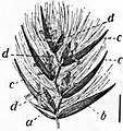 EB1911 - Grasses Fig. 11.jpg