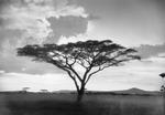 ETH-BIB-Schirmakazie vor einem Gewittersturm in der Serengeti-Kilimanjaroflug 1929-30-LBS MH02-07-0052.tif