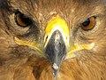 Eagle عقاب 03.jpg