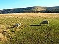 Early Lambs - geograph.org.uk - 683188.jpg