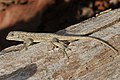 Eastern Fence Lizard - Sceloporus undulatus, Meadowood Farm SRMA, Mason Neck, Virginia - Flickr - Judy Gallagher.jpg