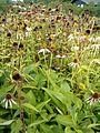 Echinacea purpurea HabitusInflorescences BotGardBln0906.JPG