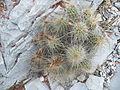 Echinocereus stramineus (5664322121).jpg