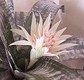 Echmea wstęgowata (Aechmea fasciata) jasny kwiat 02.jpg