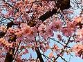 Echte Mandelblüten April 2009.JPG