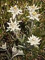 Edelweiss (Leontopodium alpinum) (7647781984).jpg