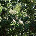 Ehretia acuminata floraison.jpg