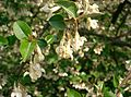 Elaeagnus multiflora1.jpg