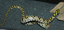meaning of rat snake