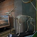 Elaphurus davidianus (skeletal specimen 2) by DaijuAzuma.jpg