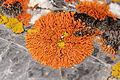 Elegant Sunburst Lichen - Xanthoria elegans (16089902484).jpg