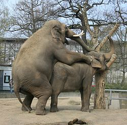 Elephant Berlin Zoo having Sex cropped.JPG