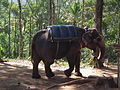 Elephant getting ready for safari in Kumily, thekady 6019.JPG