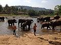 Elephant orphanage Sri Lanka - panoramio (1).jpg