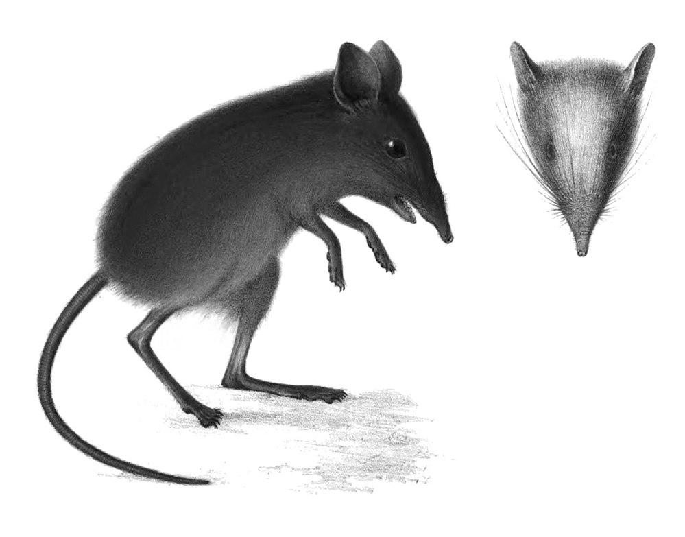 The average litter size of a Dusky elephant shrew is 1