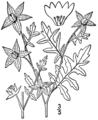 Ellisia nyctelea BB-1913.png