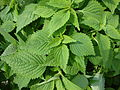 Elsholtzia ciliata 02.JPG