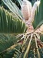 Encephalartos friderici-guilielmi KirstenboshBotGard09292010Q.JPG