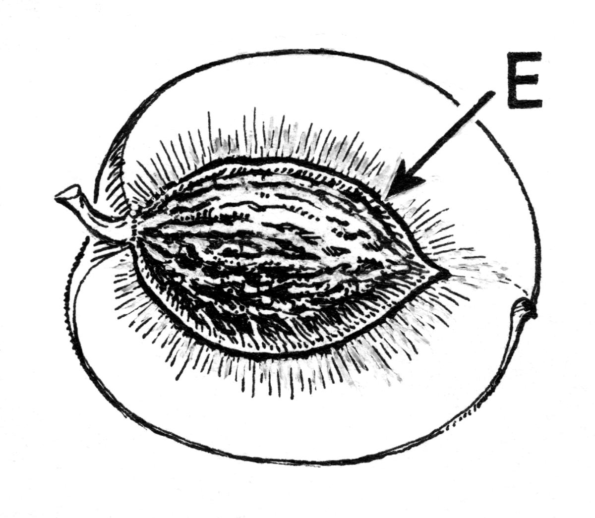 Endocarpo Biquipedia A Enciclopedia Libre