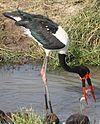 Ephippiorhynchus senegalensis -Tanzania-8a