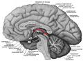 Epithalamus.png