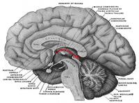 200px-Epithalamus.png