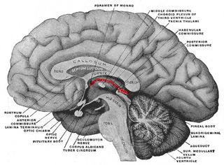 Epithalamus part of diencephalon